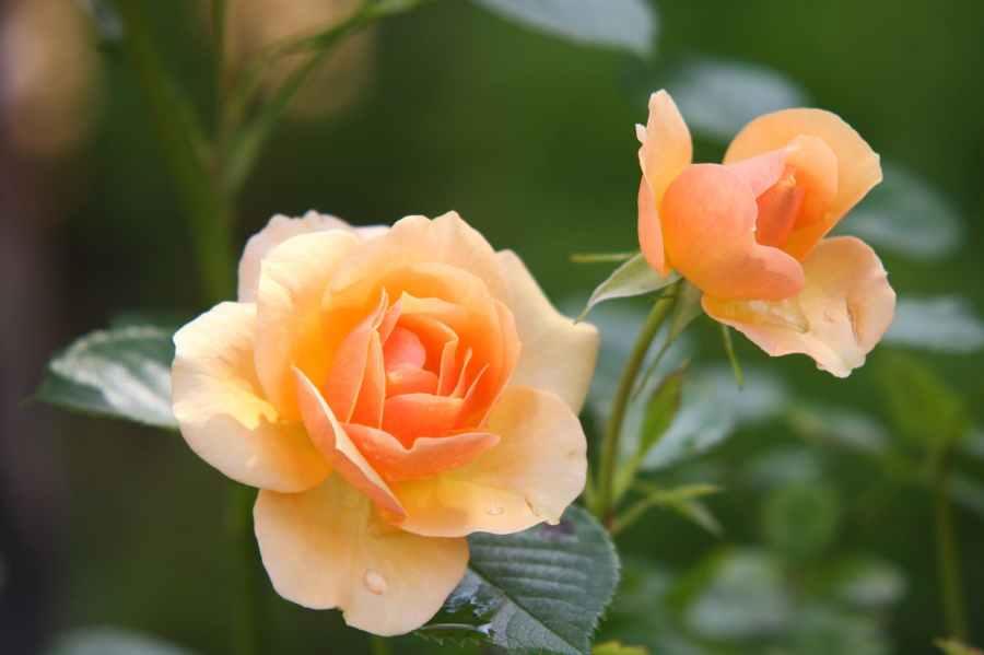 rose-flower-blossom-bloom-39517.jpeg