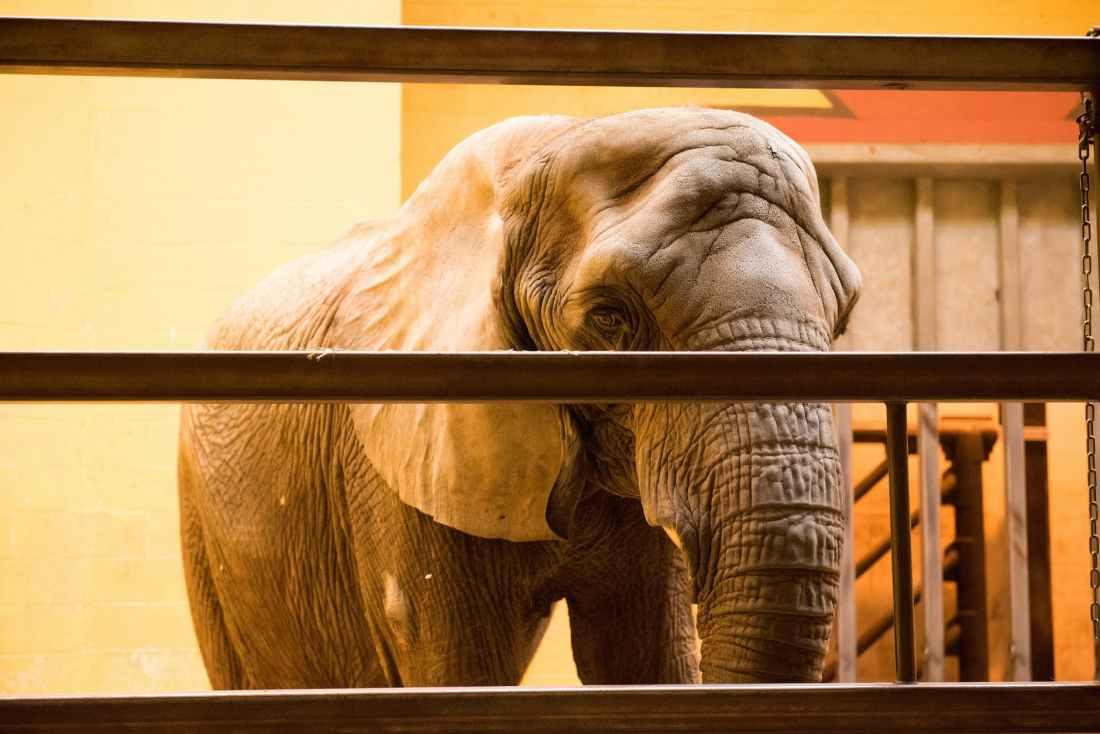 elephant inside cage