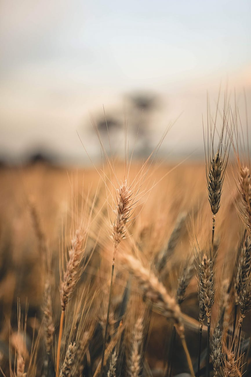 close up of a wheat plant in a cropland