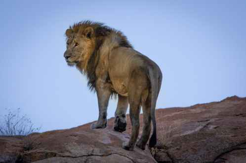 lion standing on hill
